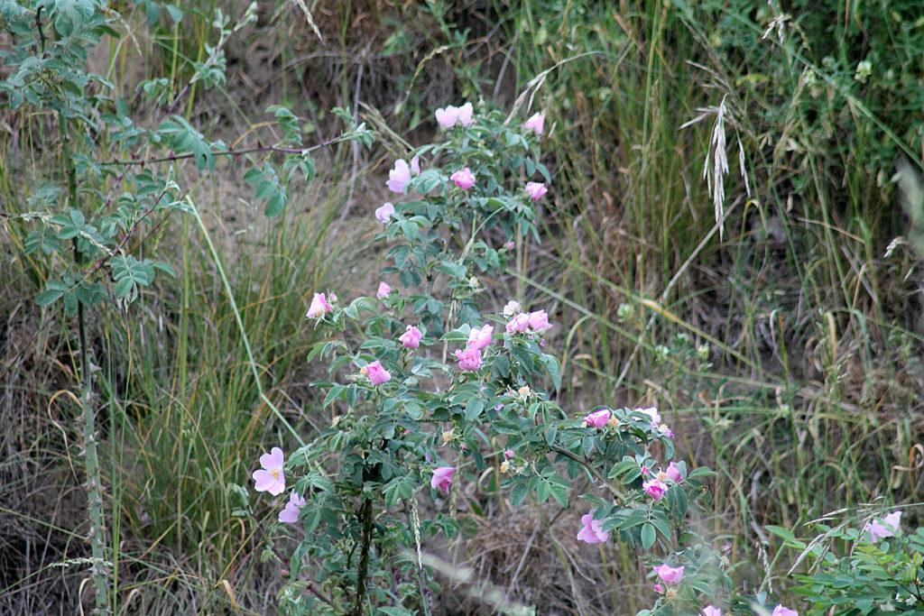 Falsche Wildrose