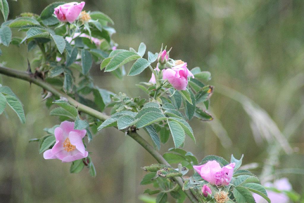 Blüten der Falsche Wildrose